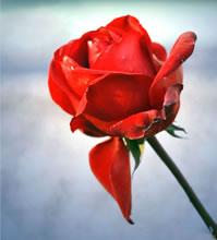 Labour-rose-199x2203